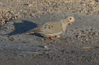 Mourning-Dove-01