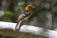Western-Tanager-05
