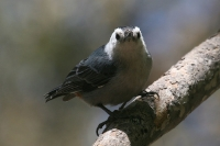 White-breasted-Nuthatch-02