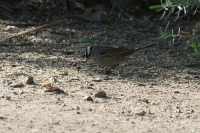 White-crowned-Sparrow-02