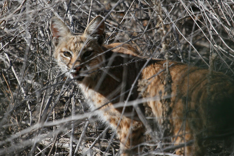 Bobcat-Sweetwater-11-0514-01
