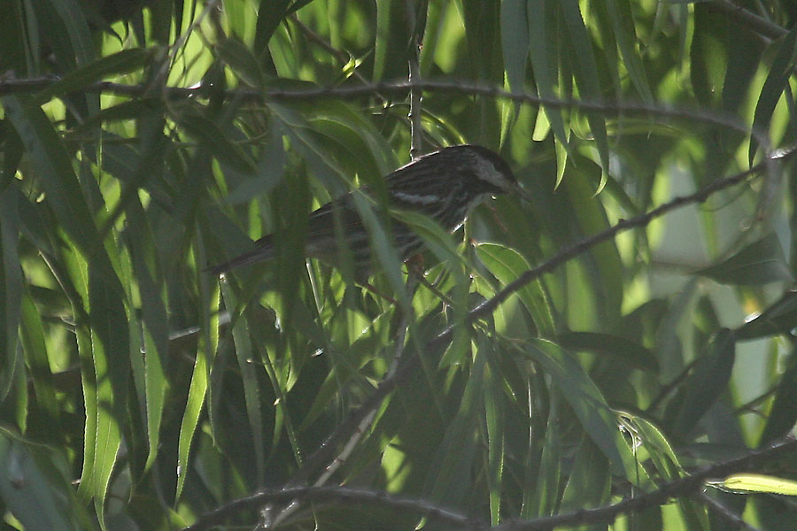 Blackpoll-Warbler-Sweetwater-11-0518-10