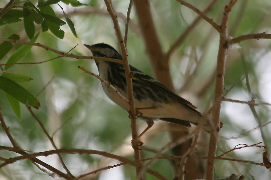 Blackpoll-Warbler-Sweetwater-11-0518-16