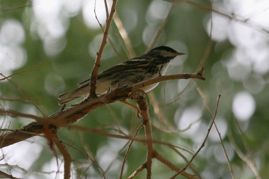 Blackpoll-Warbler-Sweetwater-11-0518-19