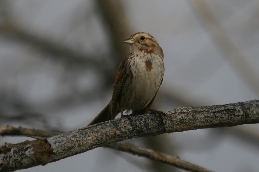 Song-Sparrow-Sweetwater-11-0518-06