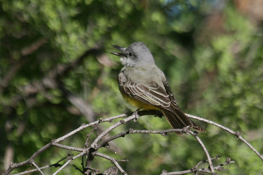 Tropical-Kingbird-Rio-Rico-11-0521-02