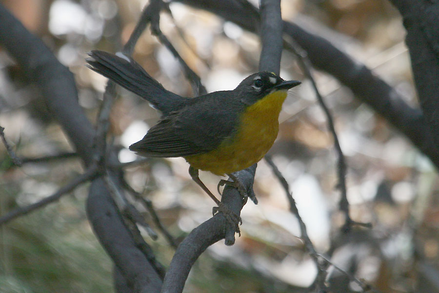 Fan-tailed-Warbler-Madera-Canyon-11-0523-14