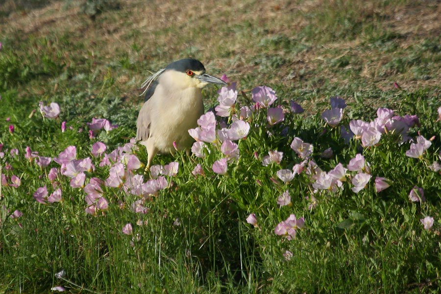 Black-crowned-Night-Heron-Rio-Rico-11-0524-01