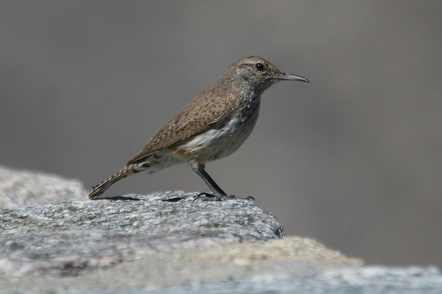 Rock-Wren-Seven-Cataracts-11-0525-02