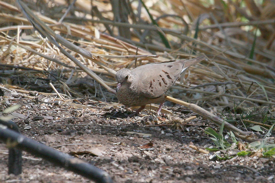 Common-Ground-Dove-Patons-11-0527-01