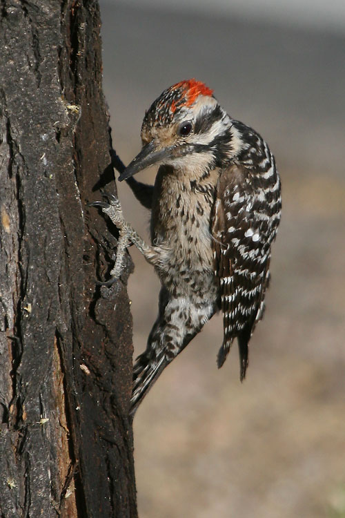 Ladder-backed-Woodpecker-Continental-11-0527-01