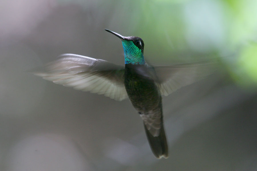 Magnificent-Hummingbird-Madera-Canyon-11-0527-01