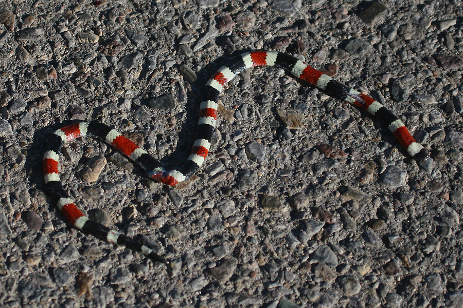 Sonoran-Coralsnake-Continental-11-0527-01