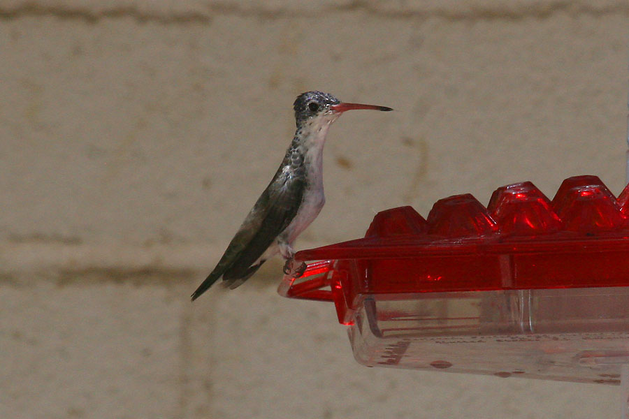 Violet-crowned-Hummingbird-Patons-11-0527-01