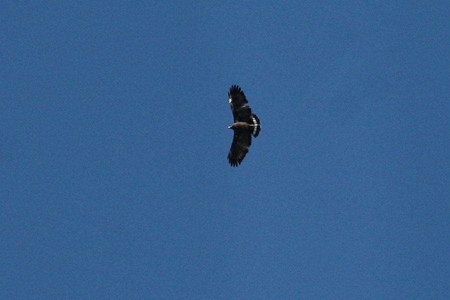 Common-Black-Hawk-Madera-Canyon-11-0528-04