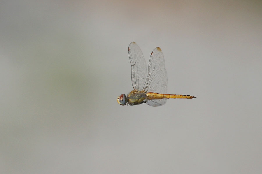 Wandering-Glider-Sweetwater-11-0619-08