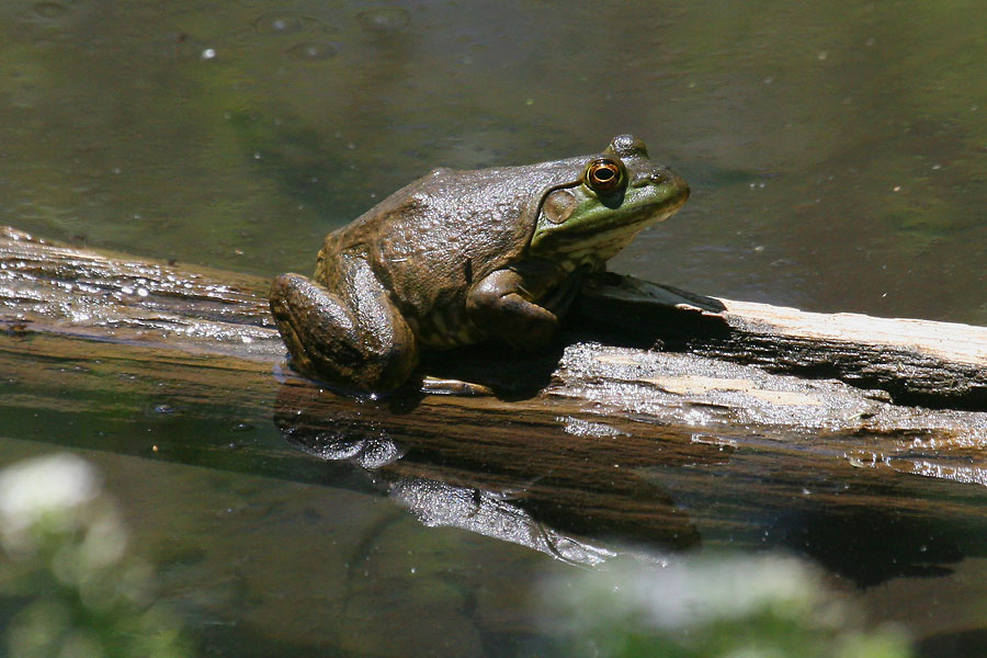 American-Bullfrog-Walnut-Creek-11-0625-02
