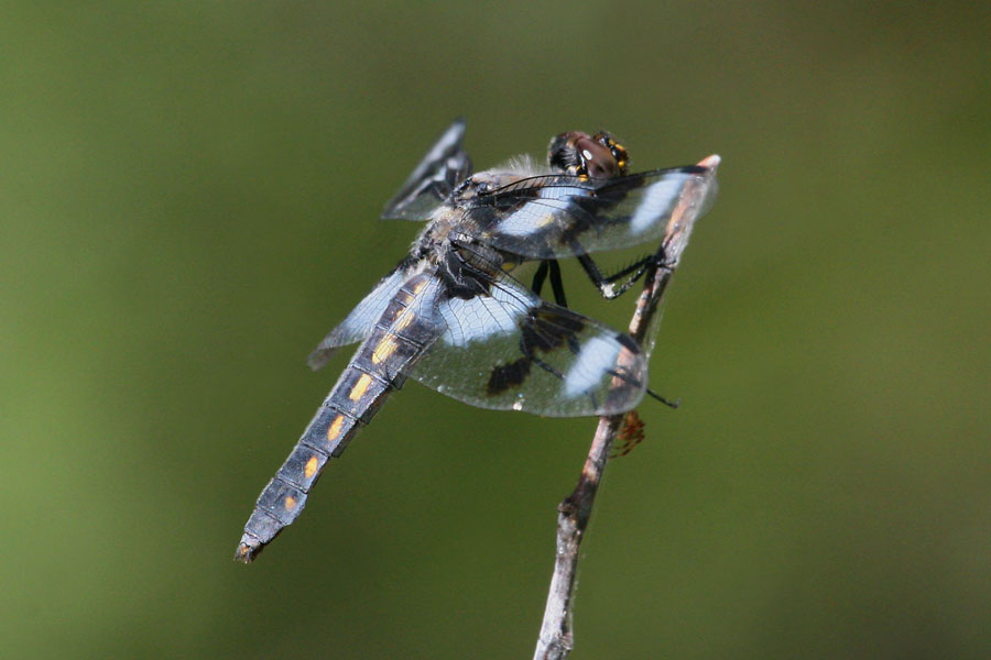 Eight-spotted-Skimmer-Walnut-Creek-11-0625-27