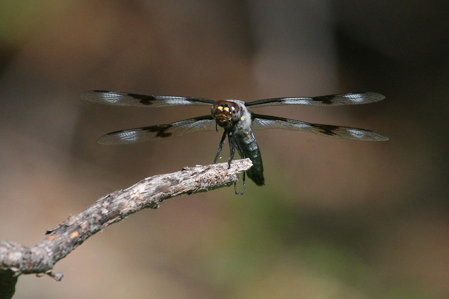 Eight-spotted-Skimmer-Walnut-Creek-11-0625-29