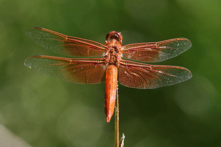 Flame-Skimmer-Walnut-Creek-11-0624-04