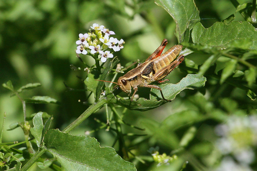 Grasshopper-sp-Walnut-Creek-11-0625-06