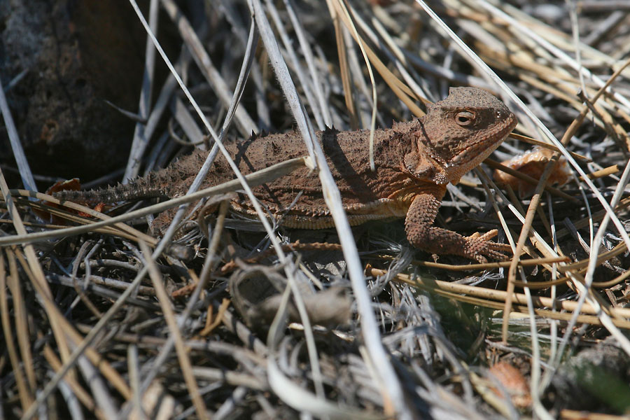 Greater-Short-horned-Lizard-Walnut-Creek-11-0624-01