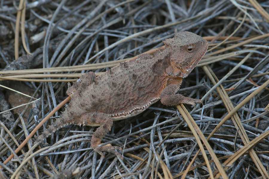 Greater-Short-horned-Lizard-Walnut-Creek-11-0624-04