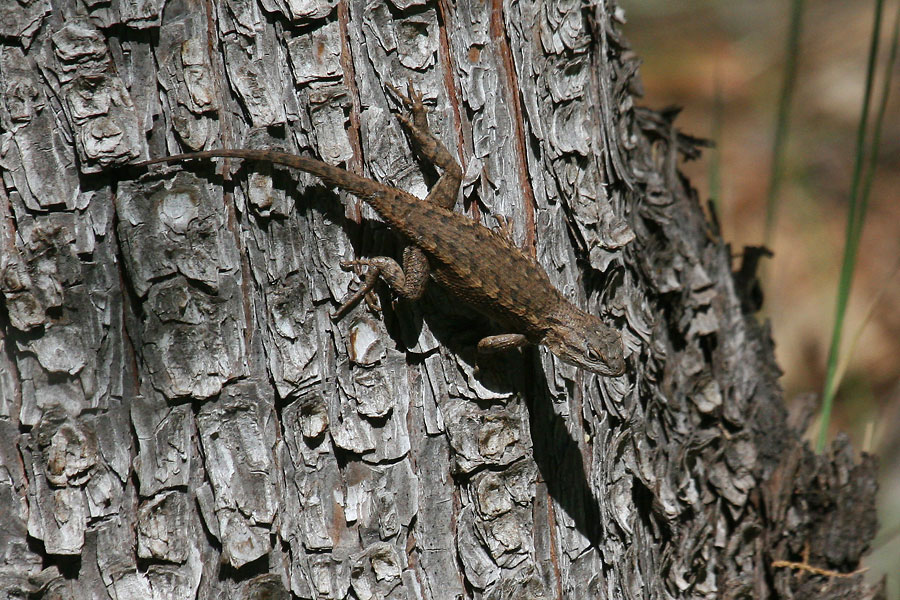 Plateau-Lizard-Walnut-Creek-11-0625-07