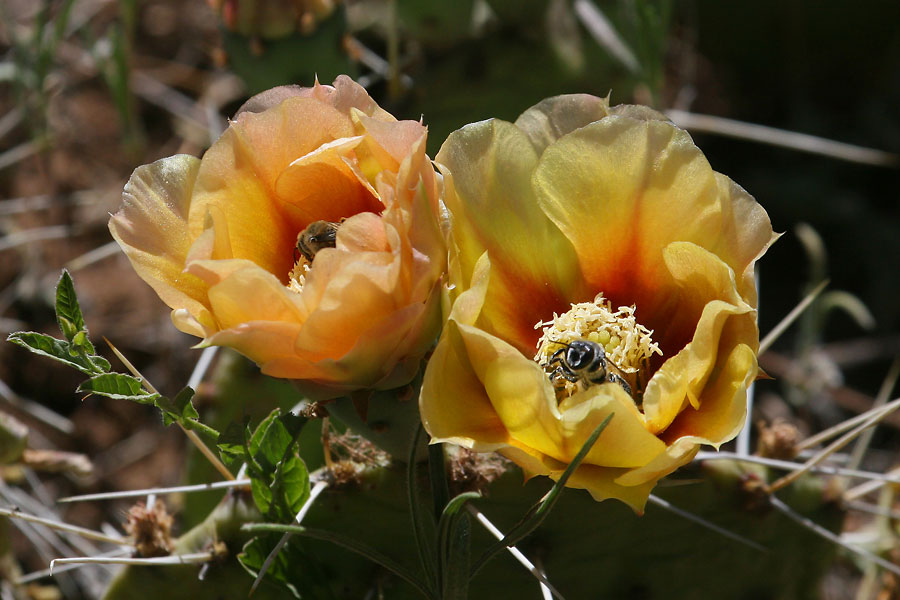 Prickly-Pear-flower-Walnut-Creek-11-0624-01