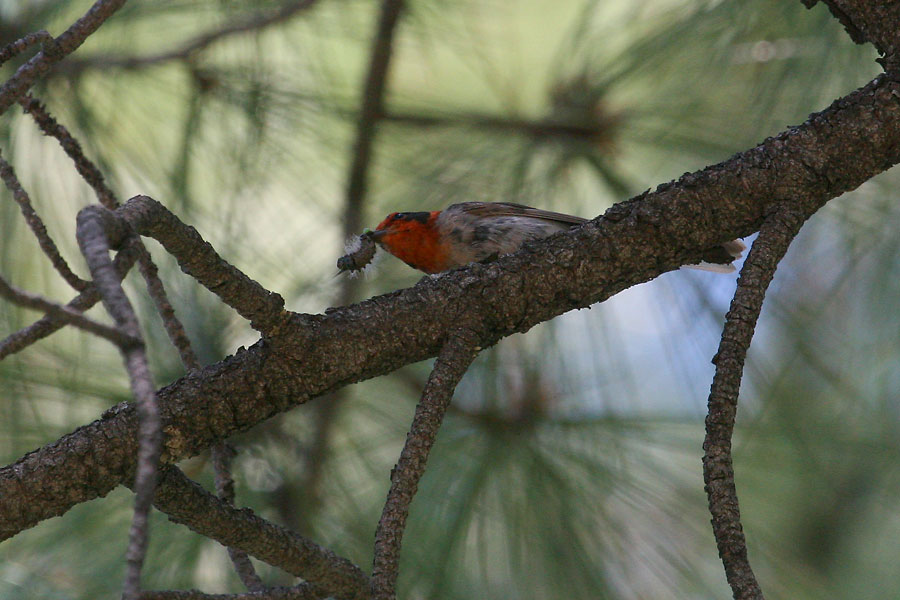 Red-faced-Warbler-Walnut-Creek-11-0625-03