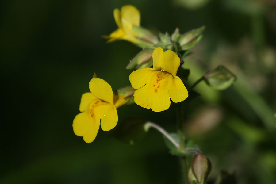 Yellow-flower-Walnut-Creek-11-0624-01