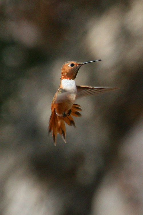 Rufous-Hummingbird-Ash-Canyon-11-0716-05
