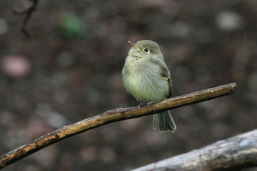 Cordilleran-Flycatcher-Mt-Lemmon-11-0725-07