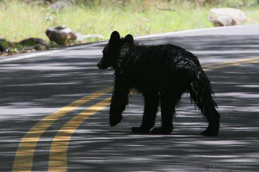Black-Bear-Madera-Canyon-11-0727-07