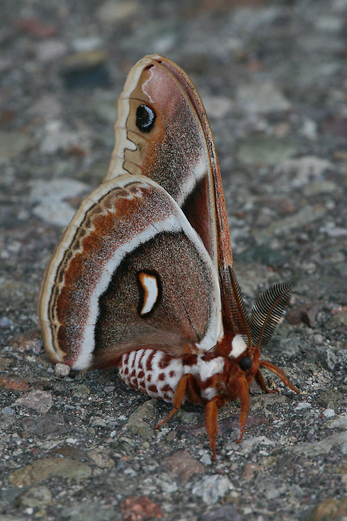 Columbia-Silkmoth-Glovers-Silkmoth-Mt-Lemmon-11-0729-05