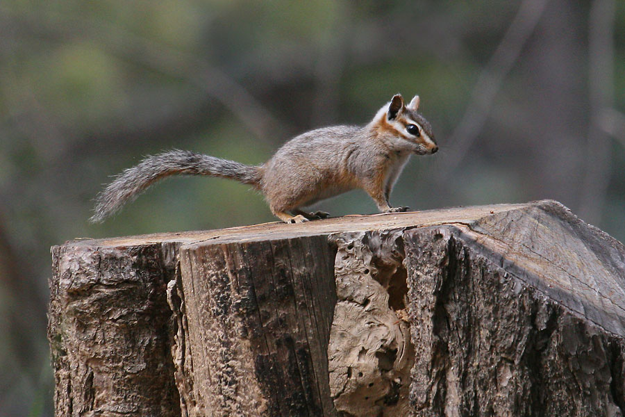 Cliff-Chipmunk-Mt-Lemmon-11-0729-01