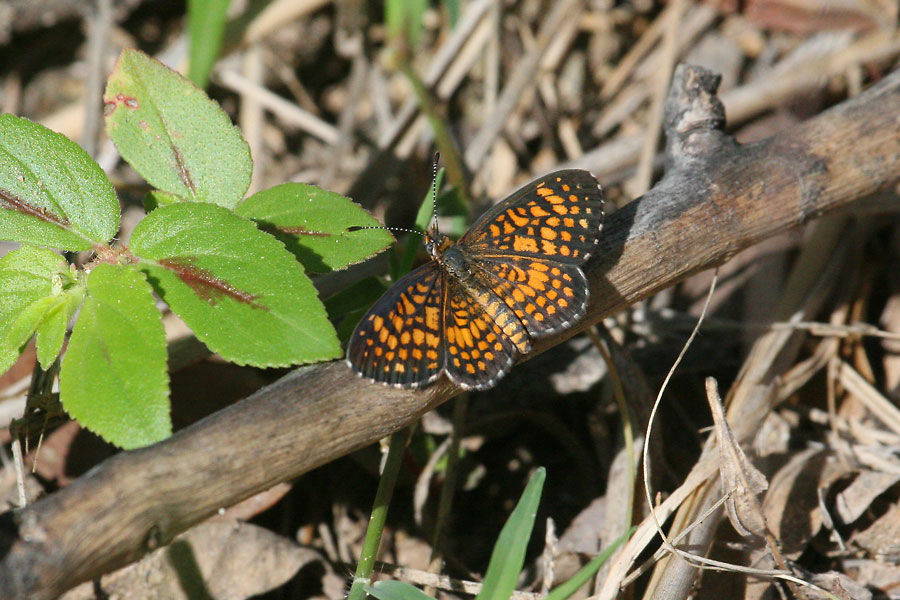 Elada-Checkerspot-California-Gulch-11-0814-01
