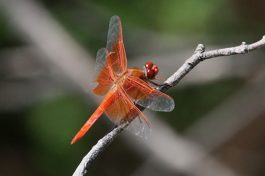 Flame-Skimmer-California-Gulch-11-0814-02
