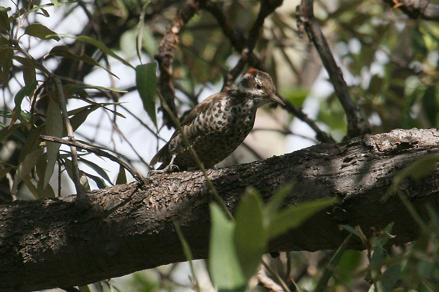 Arizona-Woodpecker-Madera-Canyon-11-0825-01