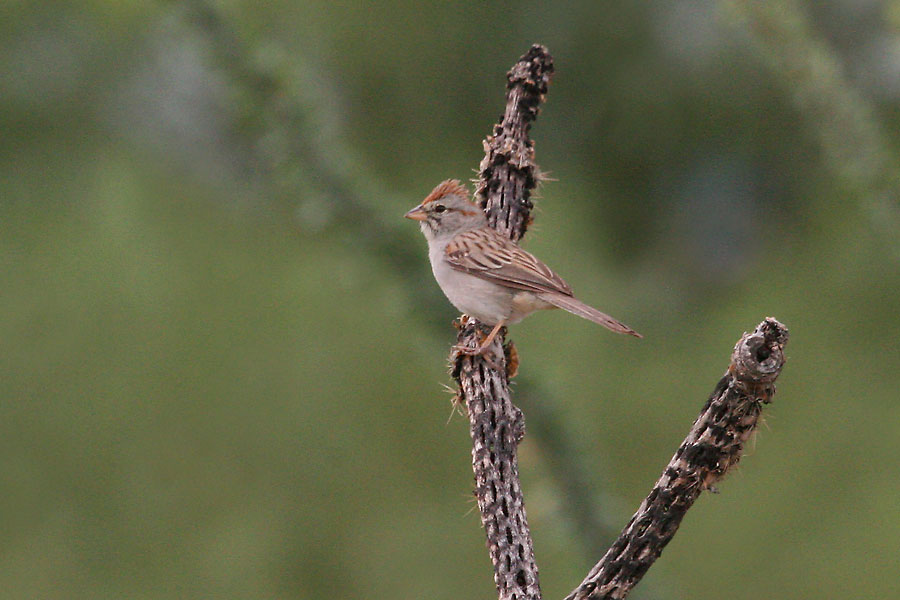 Rufous-winged-Sparrow-Continental-11-0825-01
