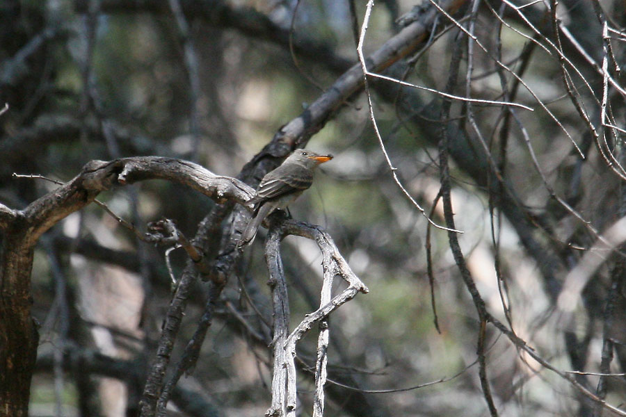 Greater-Pewee-Mt-Lemmon-11-0827-01