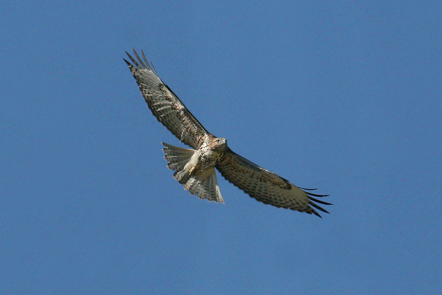 Red-tailed-Hawk-Mt-Lemmon-11-0827-06