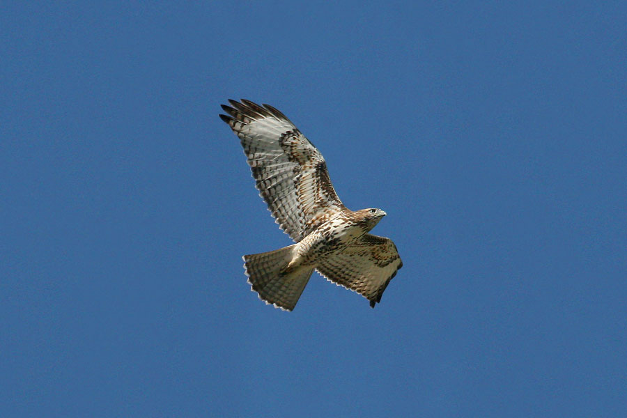 Red-tailed-Hawk-Mt-Lemmon-11-0827-12