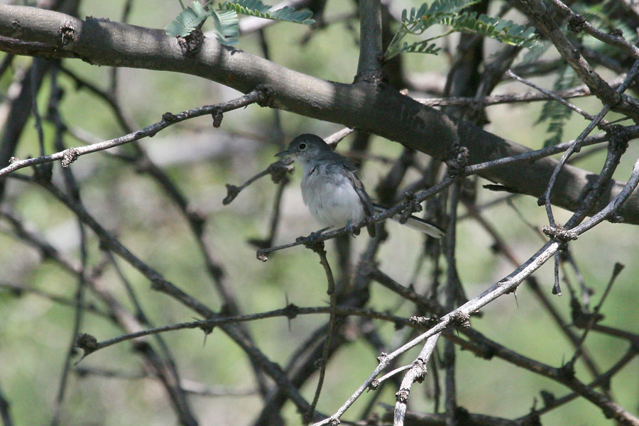 Black-capped-Gnatcatcher-Montosa-Canyon-11-0903-01