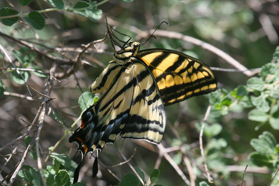 Two-tailed-Swallowtail-Montosa-Canyon-11-0903-01