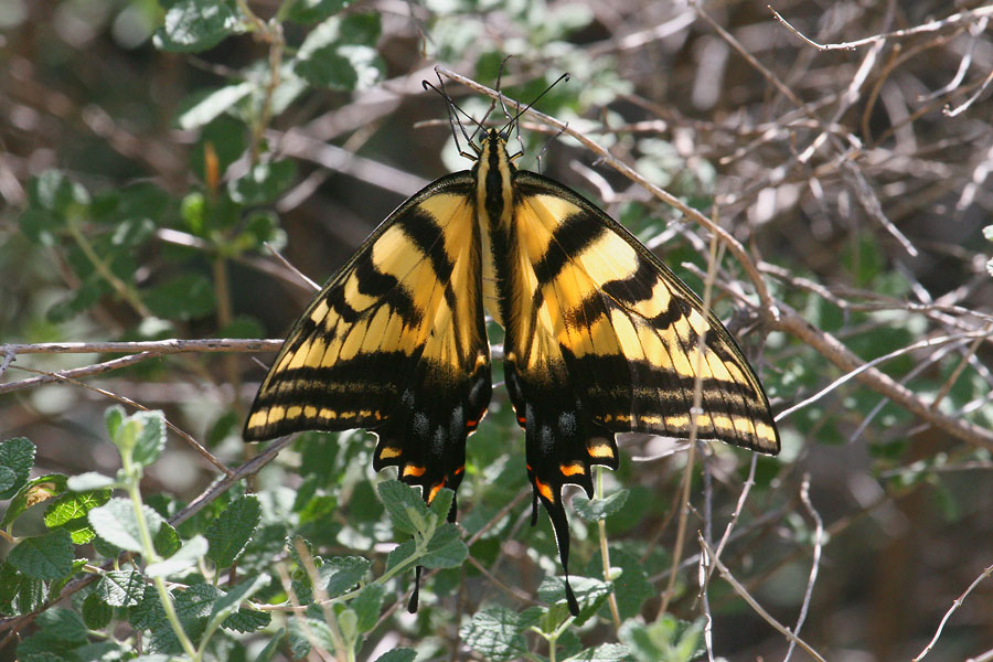 Two-tailed-Swallowtail-Montosa-Canyon-11-0903-03