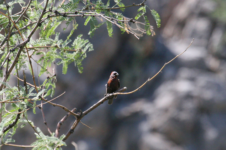 Varied-Bunting-Montosa-Canyon-11-0903-02