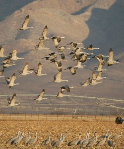 Sandhill Cranes in the Sulphur Springs Valley, Arizona