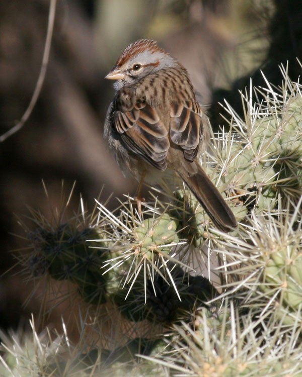Rufous-winged Sparrow